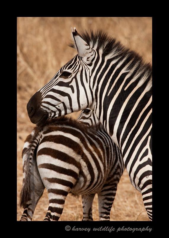 Zebra mom and foal in the Masai Mara.