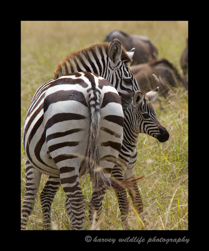 Zebra-mom-and-baby-IMG_7105