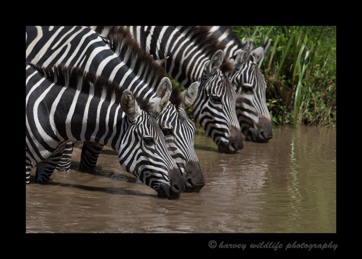 Zebras_Drinking_2016