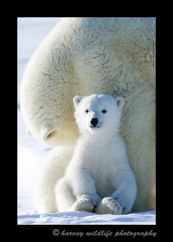 This polar bear cub is about as cute as a teddy bear.