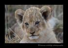 _Lion_CubIMG_1598-1