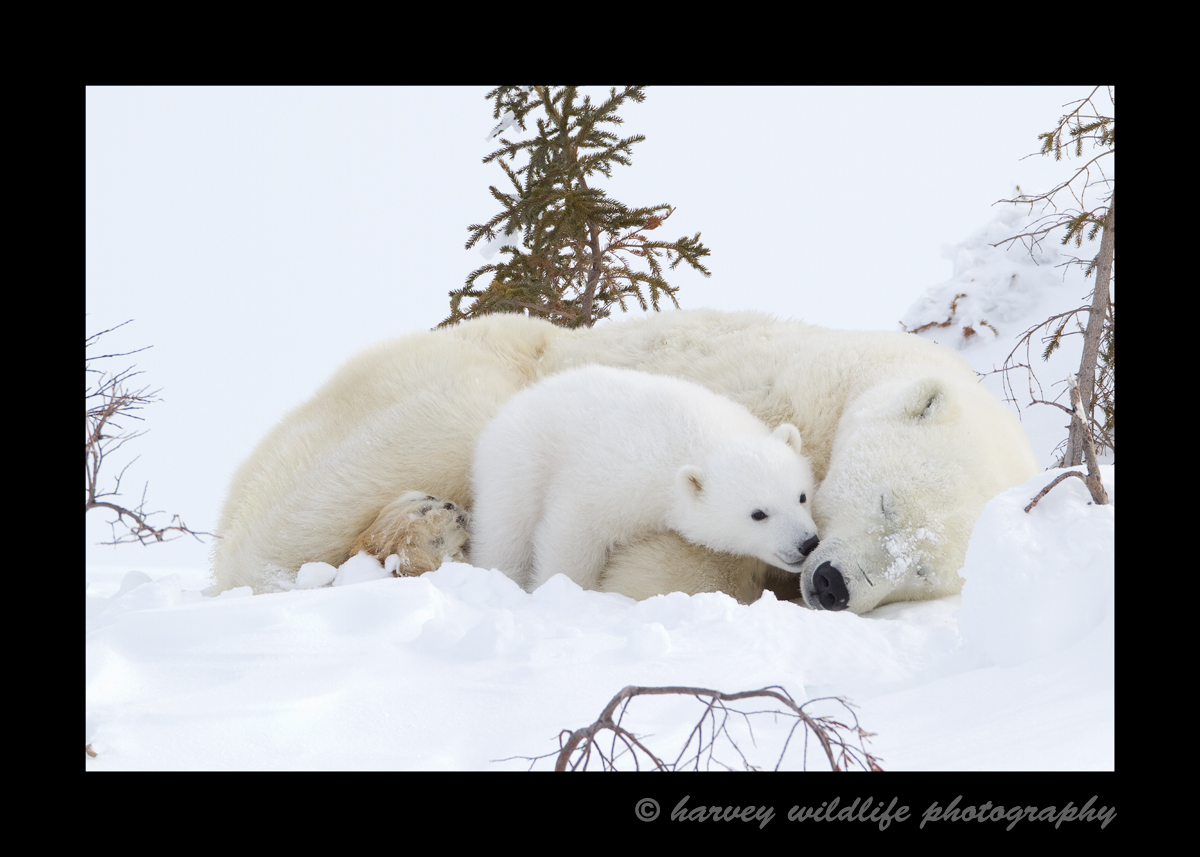polar bear cub kissing mom