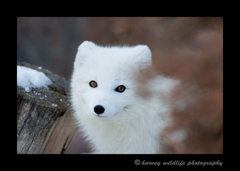 Another winter version of Echo at the Valley Zoo
