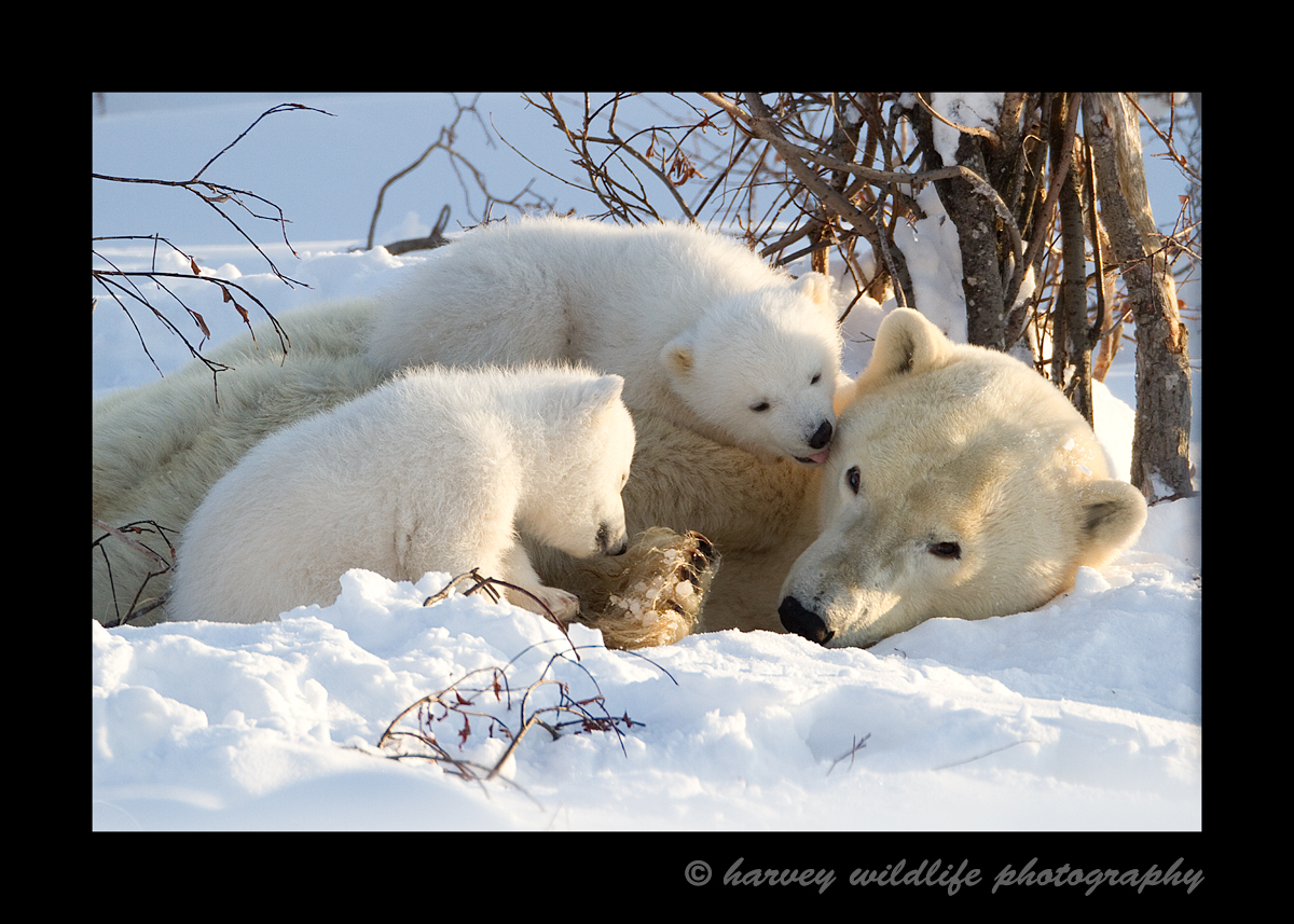 The polar bear cubs briefly stop playing to give mom a little bit of loving.