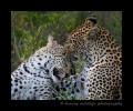 Mother and son leopards grooming.
