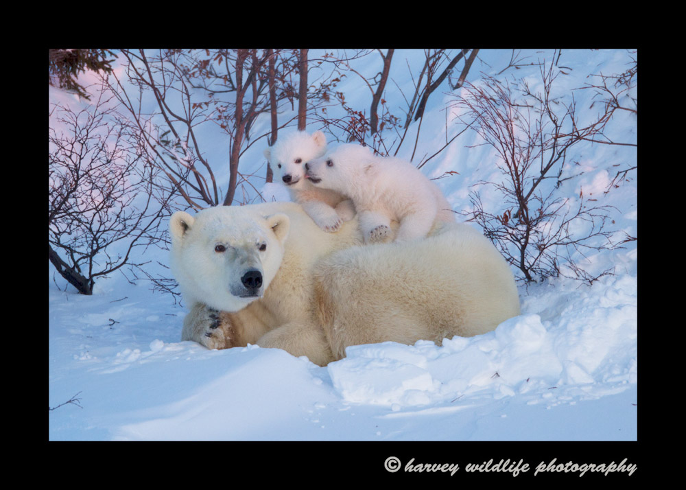 Picture of a polar bear family in Wapusk National Park.