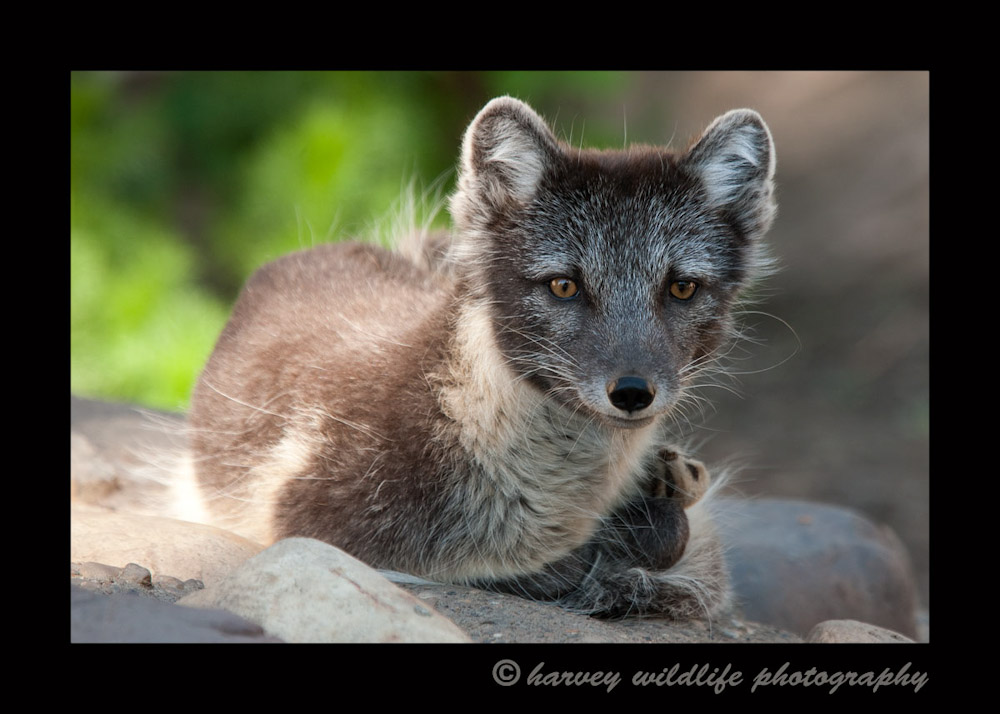 This is Echo, the male arctic fox at the Edmonton Valley Zoo. 