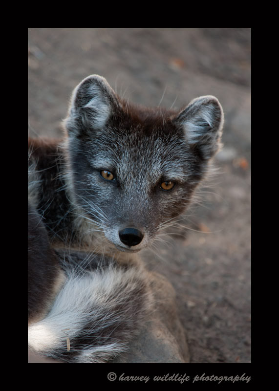 Male arctic fox; Echo.