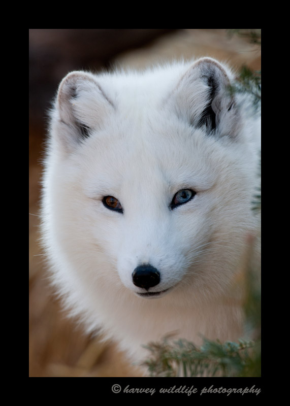 This is Vixen. In 2010, she had a littler of 14 kits at the Edmonton Valley Zoo.