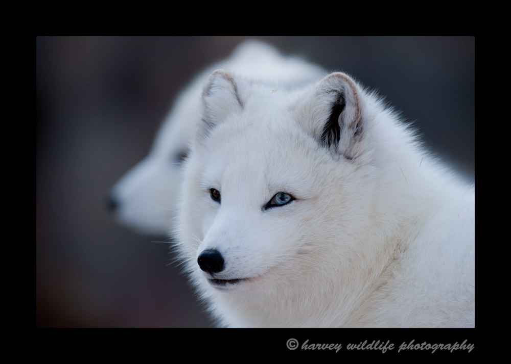 This is Vixen the female arctic fox in the Edmonton Valley Zoo.