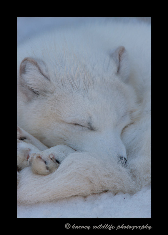 arctic-fox-sleeping
