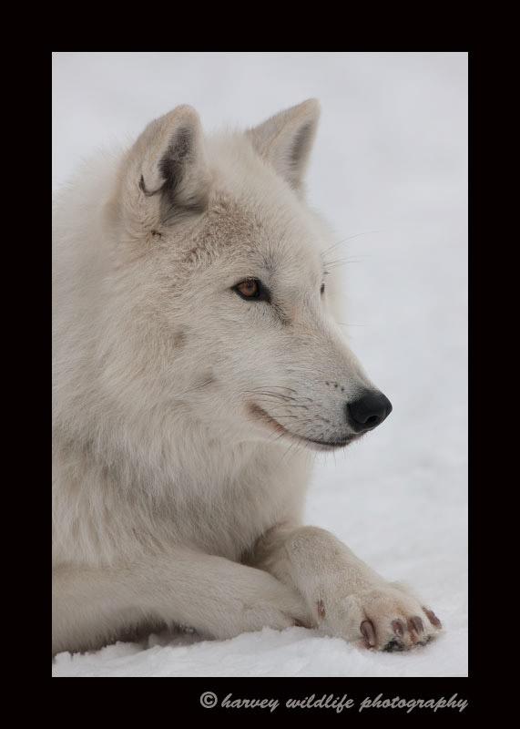 Arctic Wolf Profile