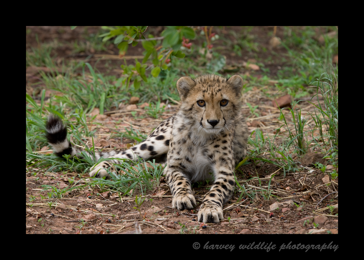 This cheetah cub was about six months old. It looks like he was posing for the camera, but his tail was twitching, so he was likely irritated with my presence, so we took a few pictures and moved on.