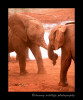 These baby orphan elephants are enjoying a little play time after they each downed four litres of milk for lunch.