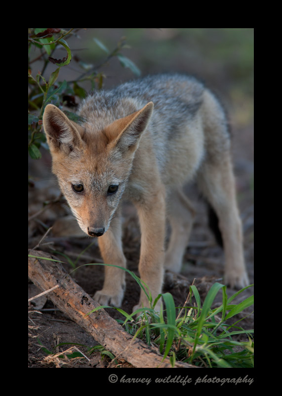 This cute little black backed jackal baby was just hanging out waiting for his parents to come back from hunting.