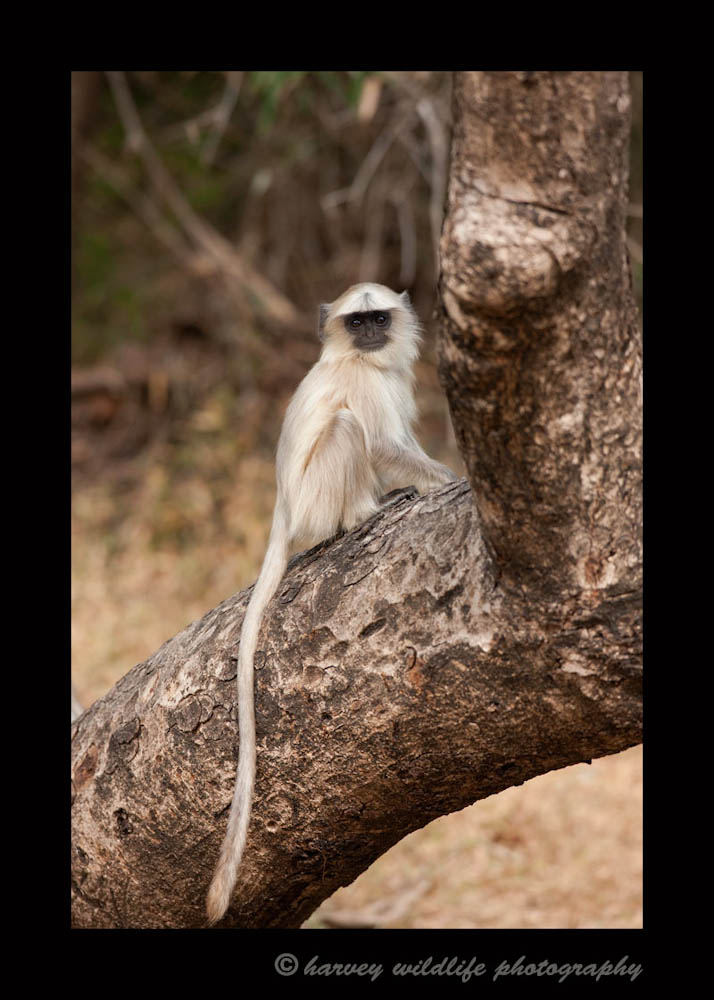 This is a baby langur monkey in the Bandhavgarh Tiger Reserve, India.