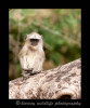 This baby langur monkey was part of a troop of monkeys. Watching monkeys is so entertaning that even the babies are entertained by the action sometimes.