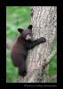 bear-cub-in-tree-4