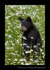 bear-cub-standing