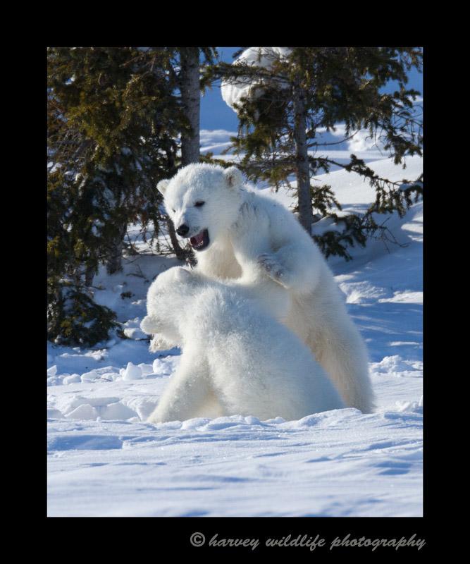 bear_cub_fight