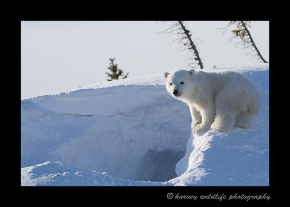 bear_cub_on_den_edge