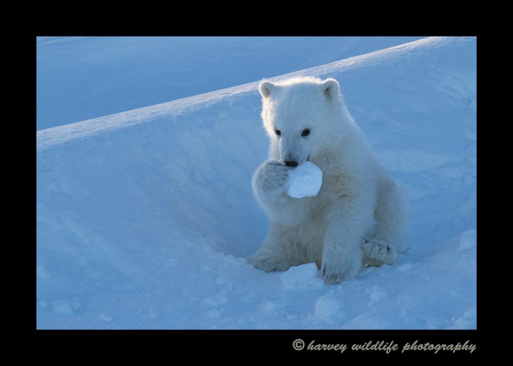 bear_cub_snowball