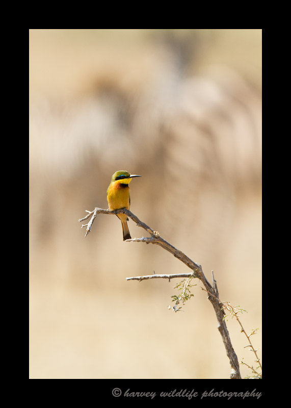 Zebras make the background behind a bee eater in Masai Mara, Kenya.