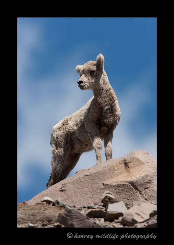 Big horn lamb