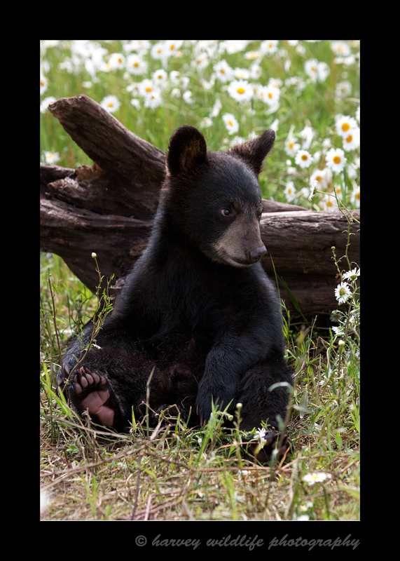 This baby black bear cub is a domestic six month old cub living in Minnesota.