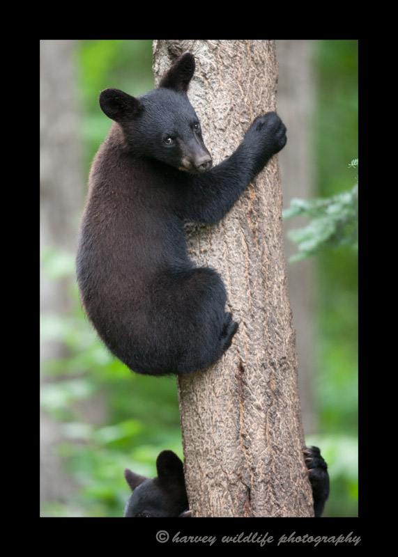 black-bear-cubs-climbing-a-tree