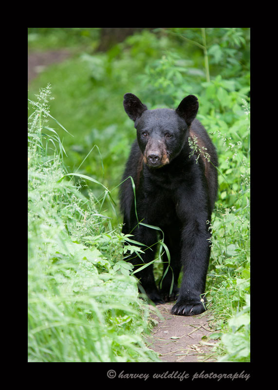 black-bear-juvenile