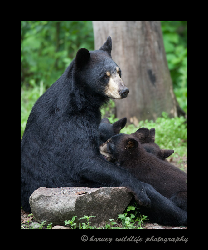 This picture was taken at the Vince Shute Wildlife Sanctuary. The bears are wild, but are habituated to people. It was a very interesting and at times nerve wracking experience walking amongst the wild black bears in a meadow in Minnesota.