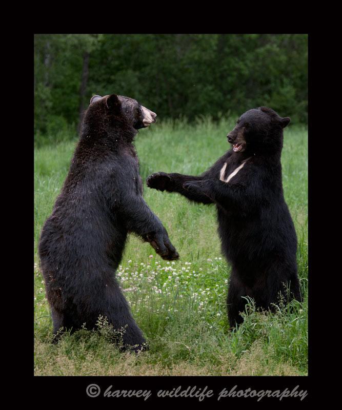 black-bears-sparring