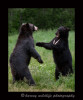 black-bears-sparring