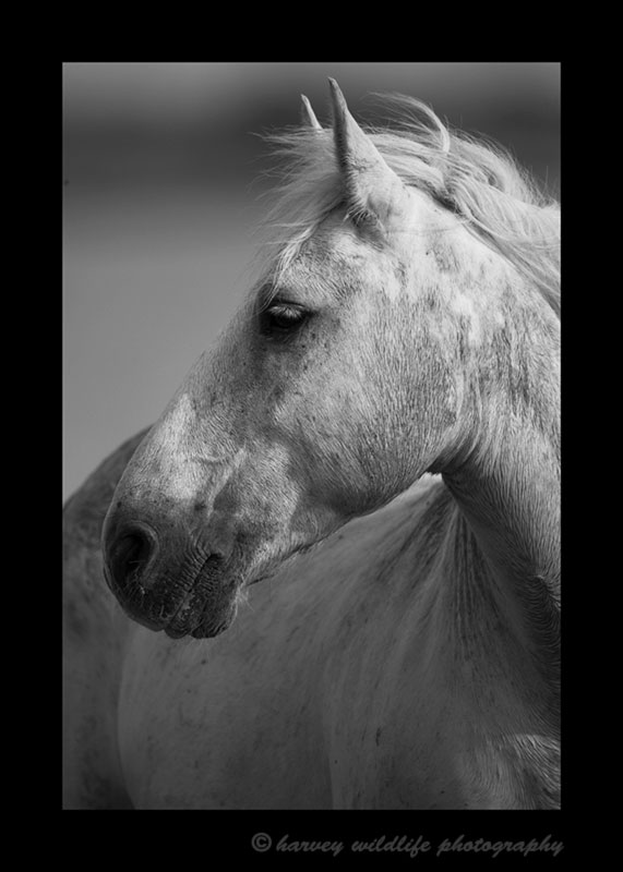 Photo of a Camargue horse in black and white in Southern France.