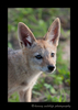 black_backed_jackal_pup_2010