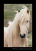 Blonde Icelandic horse photographed on a farm in Iceland.