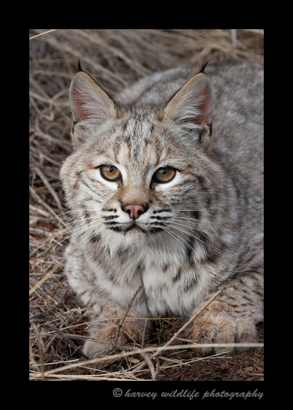 This is a bobcat wildlife model living in Montana.