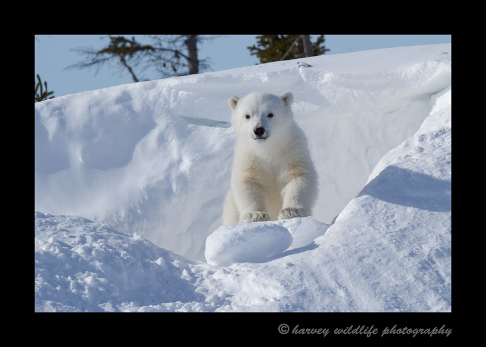 boulder_bear_cub