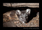 This little brown arctic fox kit was one of a litter of 14.
