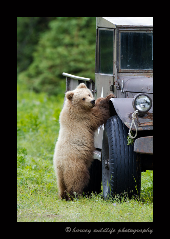 Even brown bear cubs like old trucks.