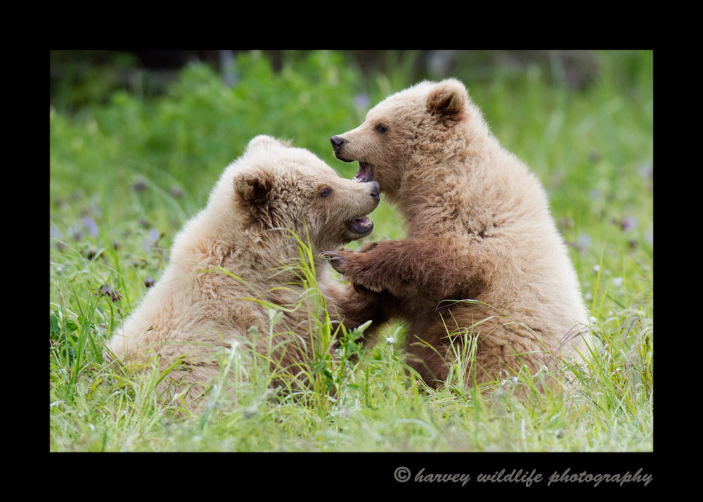 Brown Bear Cubs Sparring