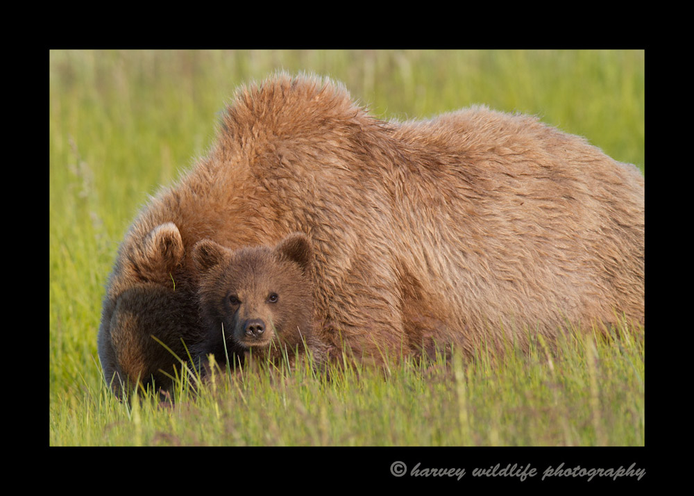 brown-bear-mom-and-cub