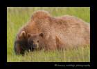 brown-bear-mom-and-cub