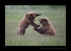 brown-bears-sparring-Lake-Clark-National-Park