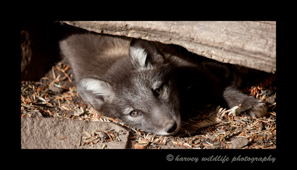 This fox kit is about four weeks old in this picture. He dug a hole under this log and now he is resting. This little guy was only one of 14 kits in the litter in 2010.