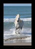 Camargue horse pictures, photo of a camargue horse running in the ocean in Southern France.