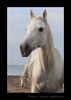 Picture of a Camargue horse portrait in Southern France. This image was edited to resemble an oil painting of a Camargue horse.