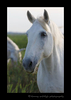 Picture of a camargue horse in Southern France