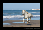 Camargue horse running along the beach in Southern France.